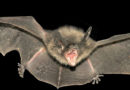 Dallas Bats Test Positive For Rabies
