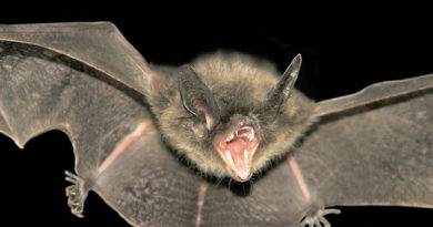 Dallas Bats Test Positive For Rabies