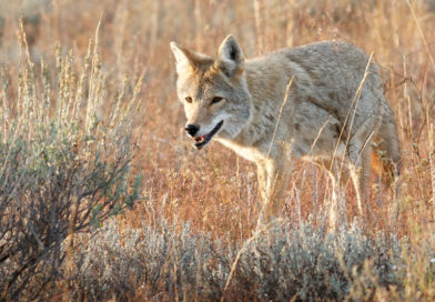 Officials Hope Residents Will Help Identify Coyote Patterns