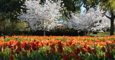 Blooming Now: Dallas Arboretum's Treasured Cherry Blossom Trees