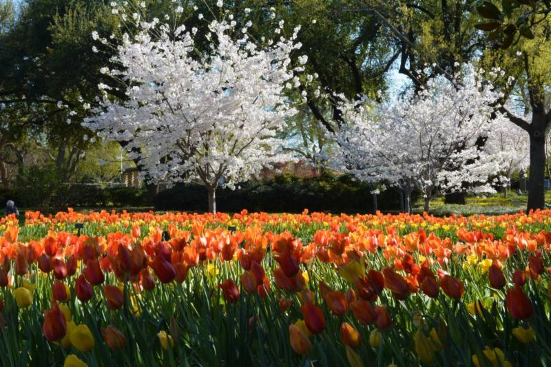 Blooming Now: Dallas Arboretumu0027s Treasured Cherry Blossom Trees